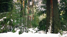 Passing Snow Covered Forest In Evening. Dolly shot moving slowly past scenic woodland in thick snow stock footage