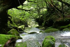 Passing by a stream in the forest of Yakushima, Japan royalty free stock images
