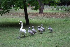 Passing swan with chicks in the park. Stock Photography