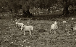Passing the time. Sheep frolicking in a natural park Royalty Free Stock Images