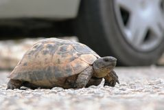 Passing tortoise in Southern Turkey Royalty Free Stock Images
