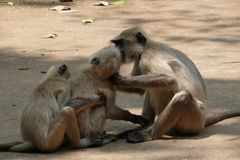 Passion. Two monkeys kissing. Took the photo at Amarkantak , a beautiful tourist place in central India. The gray Langoors are a group of Old World monkeys and Royalty Free Stock Photos