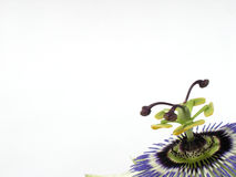 Passion background. Passion fruit flower detail in corner isolated against background Stock Photos