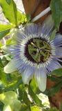 Passion blommar mycket härligt och bor så tvärt Arkivfoto