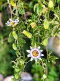 Passion blommar och slår ut på en klättringväxt i sommar royaltyfri fotografi