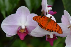 Passion Butterfly / Gulf Fritillary (Agraulis Vanillae) Royalty Free Stock Images