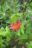 Passion Butterfly. Gulf Fritillary, also called Passion Butterfly, is a medium to large size bright, orange butterfly known for their long narrow wings. It is Stock Image