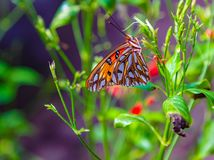 Passion butterfly with wings closed stock image