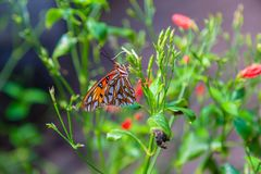 Passion butterfly with wings closed stock photography