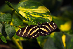 Passion butterfly. Tropical butterfly dido longwing on the leaf. Macro photography of Wildlife Stock Photo