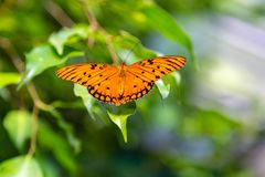Passion butterfly with wings open. Passion butterfly or gulf fritillary is a beautifu orange color with black patterns. However, when the wings are closed, the royalty free stock image