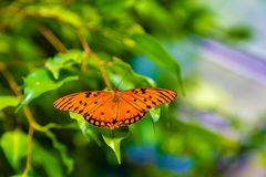Passion butterfly with wings open. Passion butterfly or gulf fritillary is a beautifu orange color with black patterns. However, when the wings are closed, the royalty free stock images