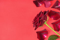 Passion concept for Valentine's day with dark red rose and petals on a red background Royalty Free Stock Photography