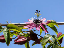 Passion flower – Pink Passiflora Stock Photography