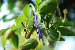 Passion flower Royalty Free Stock Images