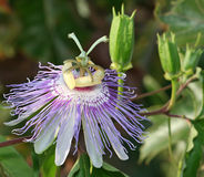 Passion flower. A macro of a passion flower with buds Royalty Free Stock Photo