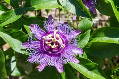 Blooming Passion Flower. Passion Flower in full bloom stock photos