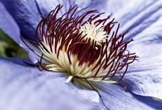 Passion Flower. Passiflora blossom in lilac and purple Royalty Free Stock Image