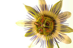 Passion Flower 2 Stock Photography