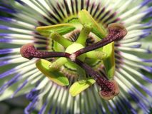 Passion flower. Closeup of a passion flower Stock Photo
