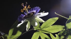 Passion flower. Beautiful Passion flower and magnific leaf stock image