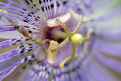 Passion Flower. Close up of purple flower royalty free stock images