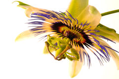 Passion Flower 3 Stock Photos