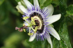 Passion flower. A passion flower showing the petals and stamens Royalty Free Stock Photos