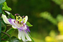 Passion flower 4 Stock Images