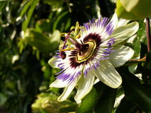 Free Passion Flower Royalty Free Stock Photo - 44032425