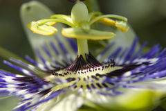 Passion Flower. Close-up of a passion flower Stock Photo