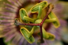 Passion flower. Close up of Passion flower Stock Photography