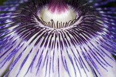 Passion Flower. Macro shot of a passion vine flower Royalty Free Stock Images