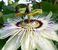 Passion flower. One passion flower showing petals and stamens Royalty Free Stock Photos