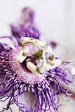 Passion Flower Royalty Free Stock Photography
