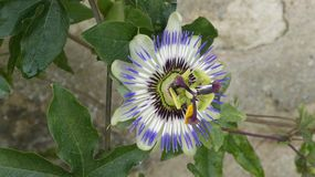 Passion flower. This passion flower, also known as Passiflora, is a genus of the family Passifloraceae stock images