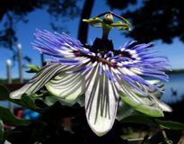Passion Flower. Beautiful flowers. Fairly large. Somewhat exotic. Various colors.  Grows well in the summer Royalty Free Stock Photos