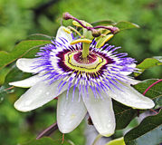 Passion Flower. Blooming for a brief moment Stock Images
