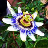 Passion flower. Blooming purple and white Passion flower Stock Photo