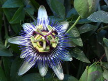 Passion Flower Blossom Royalty Free Stock Images