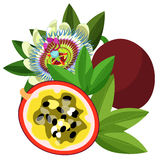 Passion flower Blue tropical fruit maracuya  vector illustration Stock Photography