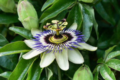 Passion Flower. Flower captured somewhere out there Royalty Free Stock Photos