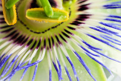 Passion flower close up. Macro shot. Stock Image
