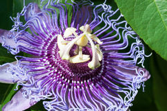 Passion Flower close up Stock Photo