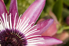 Passion Flower (closeup) Royalty Free Stock Images