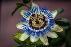 Passion Flower from Front. A blue and white Passion Flower Passiflora from the front royalty free stock photos
