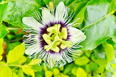 Passion flower Stock Photos