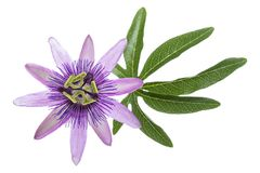 Passion flower with leaf isolated on white Royalty Free Stock Photography