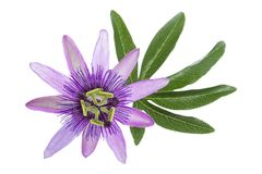 Passion flower with leaf isolated on white Stock Images