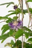 Passion Flower, Jamaica Honeysuckle (Passiflora x alato-caerulea Lindl.) Flowers. Thailand rare, beautiful colors royalty free stock photography